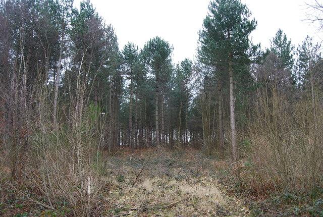 Conifers, Clowes Wood (2)