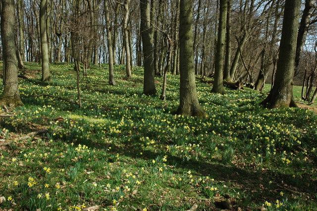 Daffodils on Hallwood