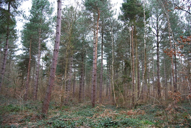 A stand of conifers, Clowes Wood