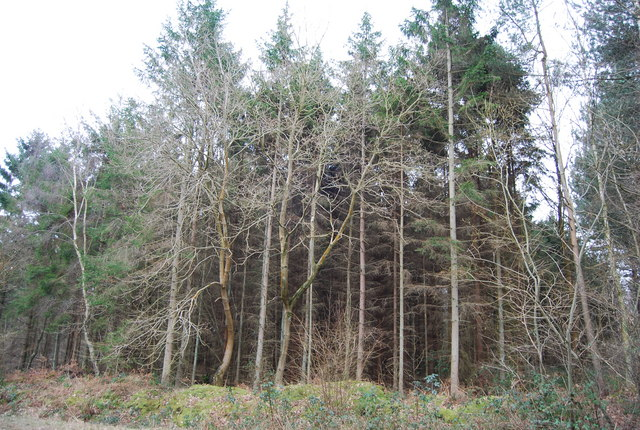 Conifers, Clowes Wood