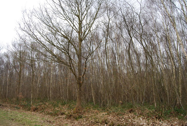 Birch trees, Clowes Wood