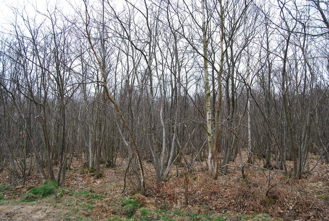 Coppiced trees, Clowes Wood