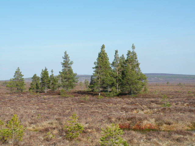 Stand of firs on moorland near Leonach Burn and Knockdhu