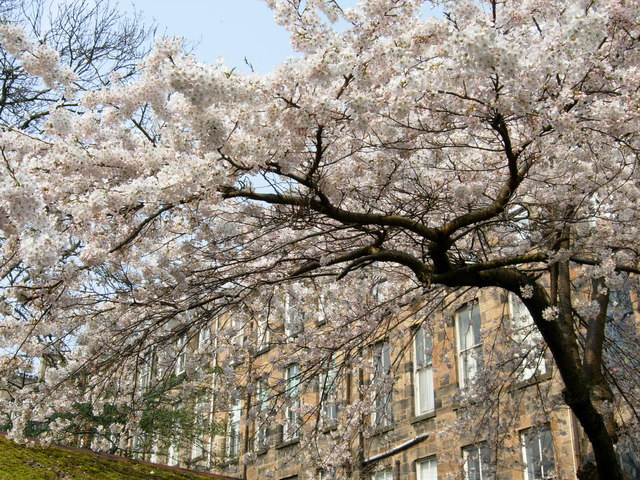 Cherry Tree in full Spring flower, plus backs of Observatory Road flats
