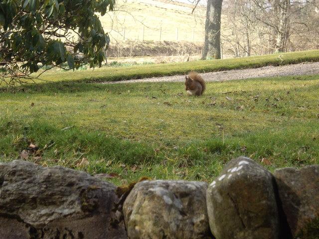 A confiding Red Squirrel