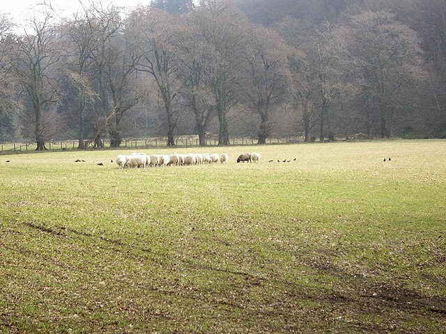 An ovine-fest near the Deveron
