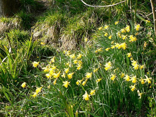 Wild Welsh Daffodils.