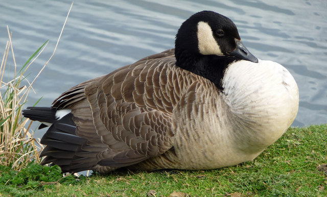 Canada Goose, Waters' Edge Country Park