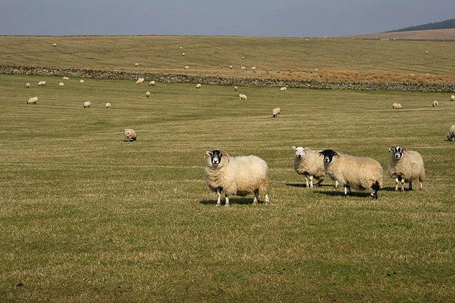 Sheep at Larriston Rig
