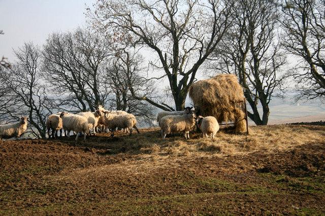 Ewes feeding