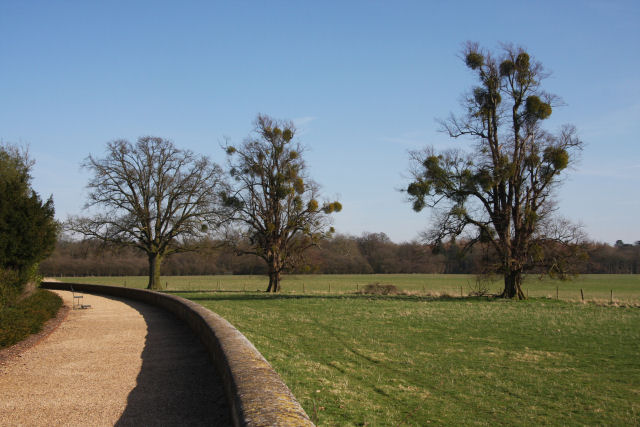 'Mistletoe' trees at Ickworth