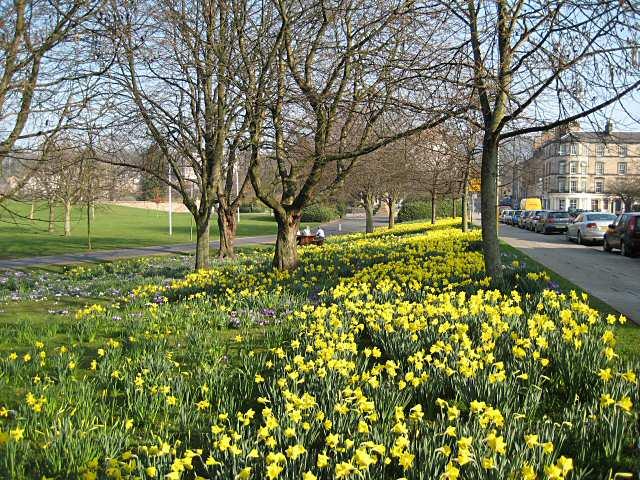 Daffodils, North Inch