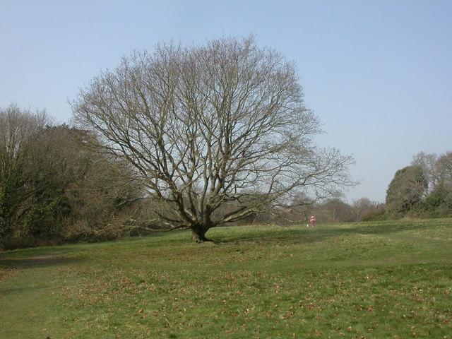 Nea Meadows, oak tree