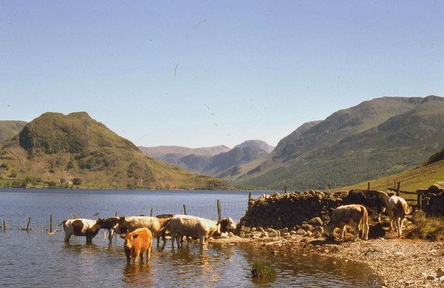 Cattle cooling off in the shallows of Crummock Water