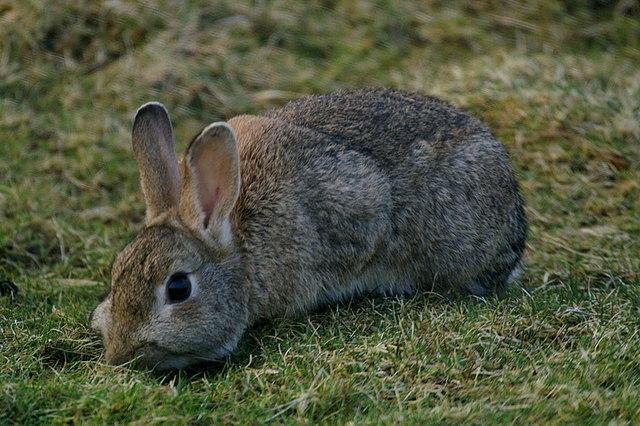 Rabbit (Oryctolagus cuniculus), Lamba Ness