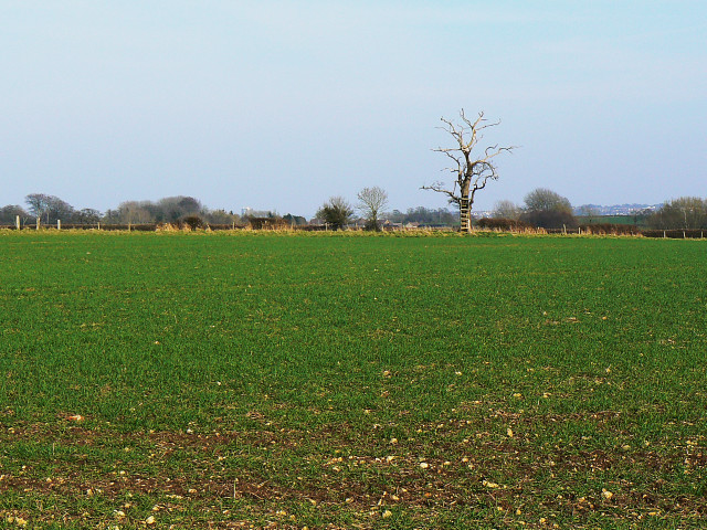 Field and a dead tree
