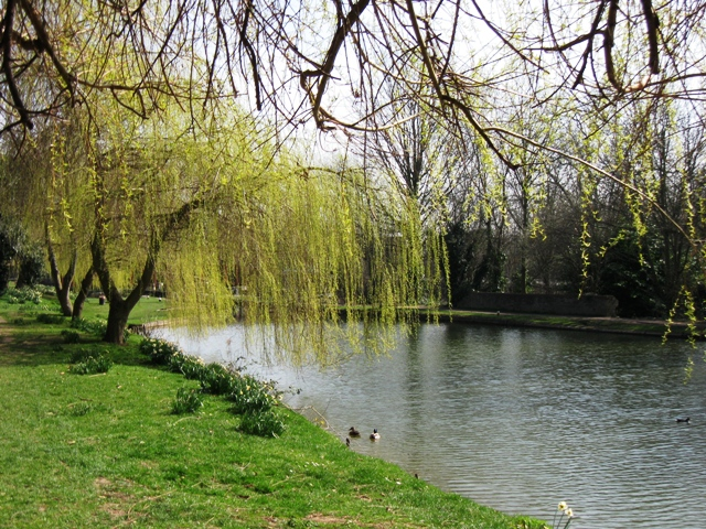 Weeping Willows by the Grand Union Canal