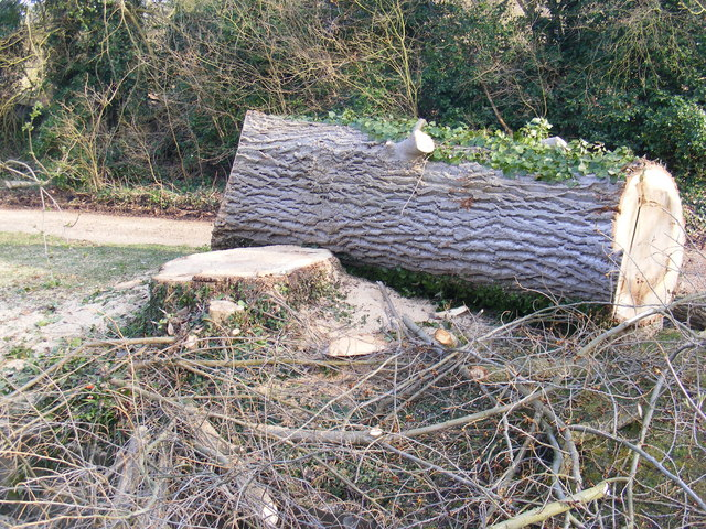 Part of the felled Poplars trees in The Causeway, Peasenhall