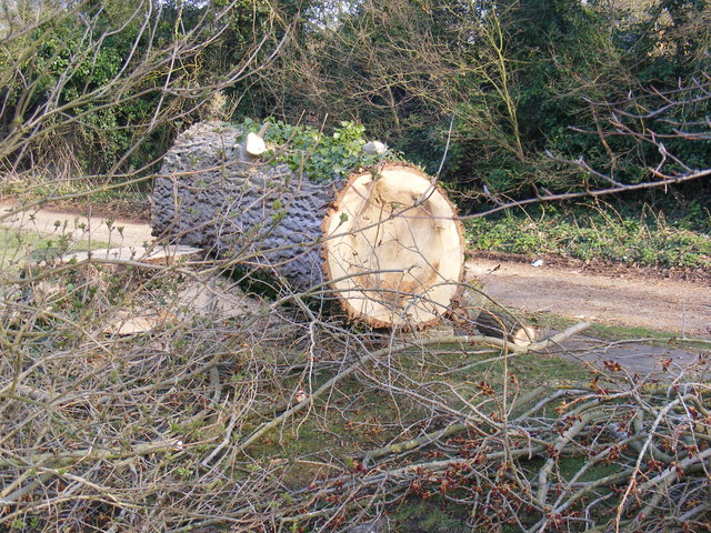 Part of the felled Poplar trees, in The Causeway, Peasenhall