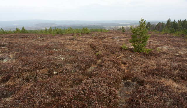 Young pine trees on moorland