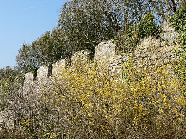 Spring Forsythia, Dunraven Park walled garden.