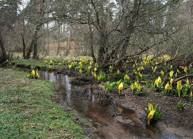 Skunk Cabbage by Lochnabo herald the Spring