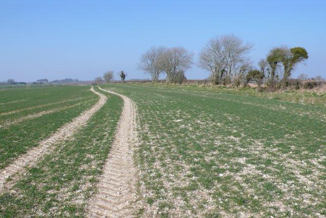 Wheatfield near Cerne Abbas