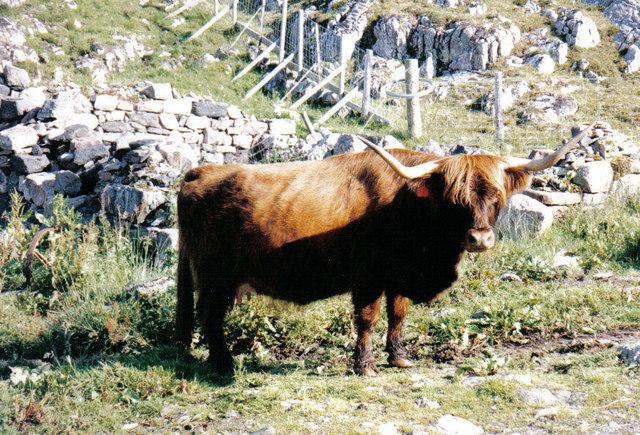 Highland cow on Rona