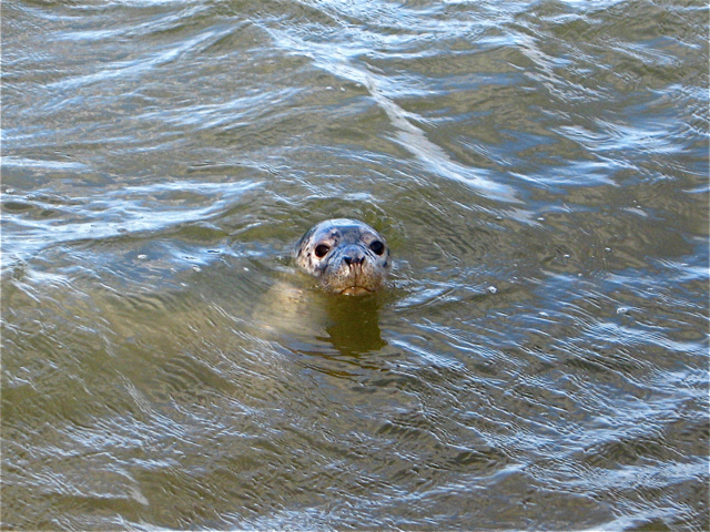Newburgh: young grey seal at the mouth of the river Ythan
