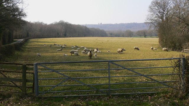 Sheep and lambs in Furze Field