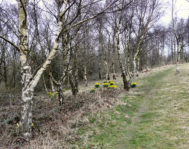 Daffodils at Hanging Bank