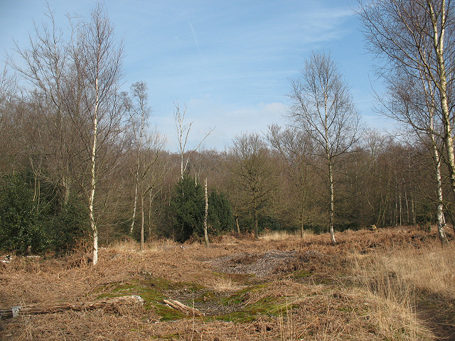 Epping Forest: clearing with young birches