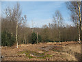 TQ4399 : Epping Forest: clearing with young birches by Stephen Craven