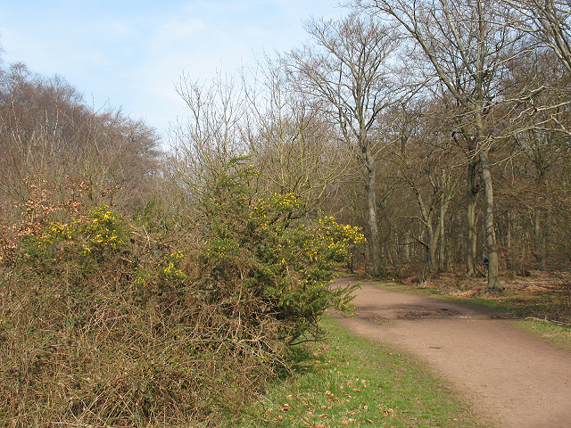 Epping Forest: gorse bushes
