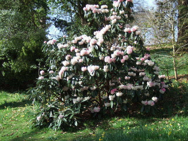 Early rhododendron at Killerton Gardens