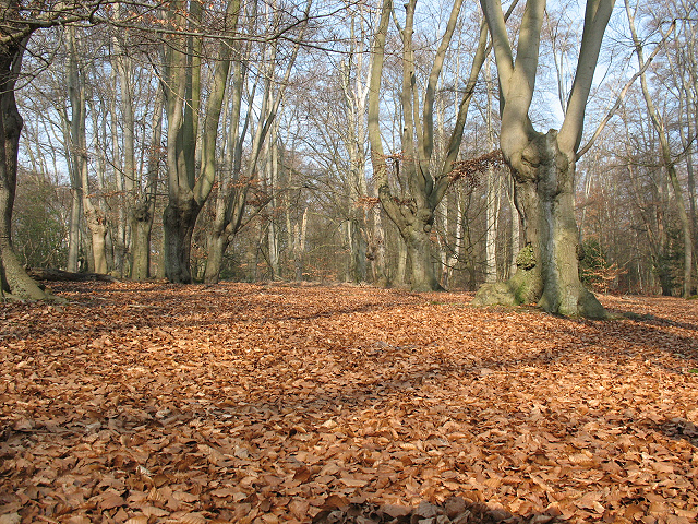 Epping Forest: carpet of beech leaves
