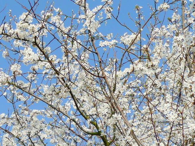 Boughs of plum blossom