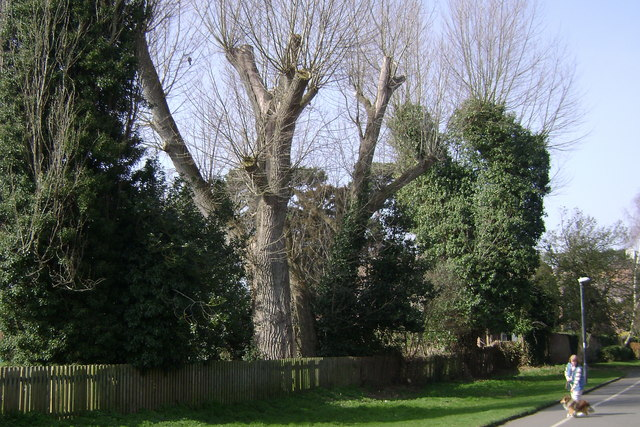 Lopped poplars, Coten End Primary School, Warwick