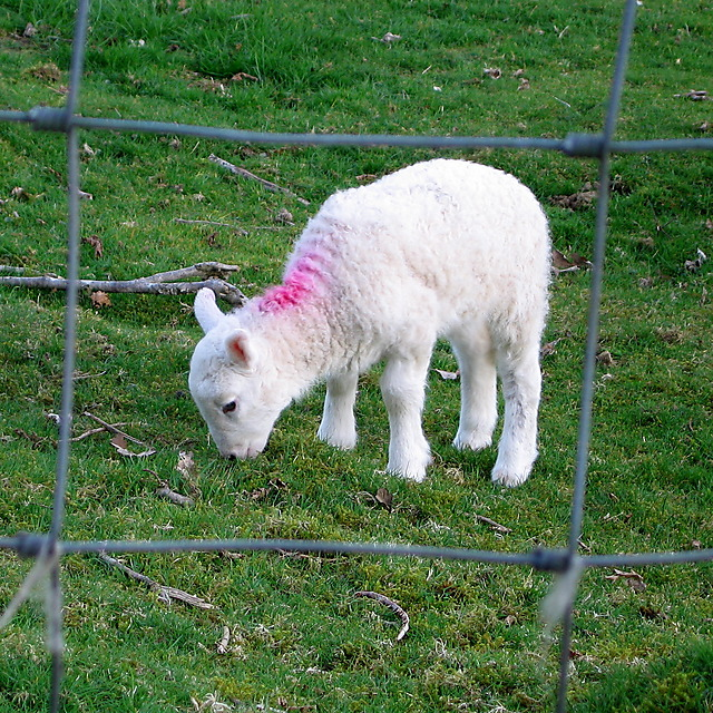 Lamb at Tan yr Allt Uchaf