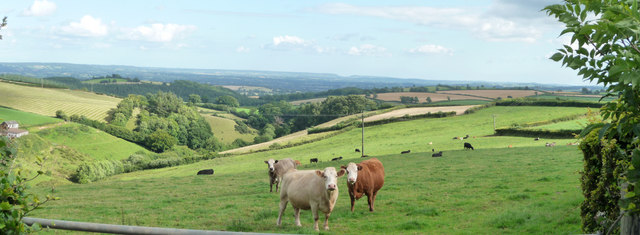 Mid Devon : Cows in a Field