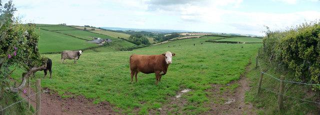Mid Devon : Cows & Buckhayes Farm