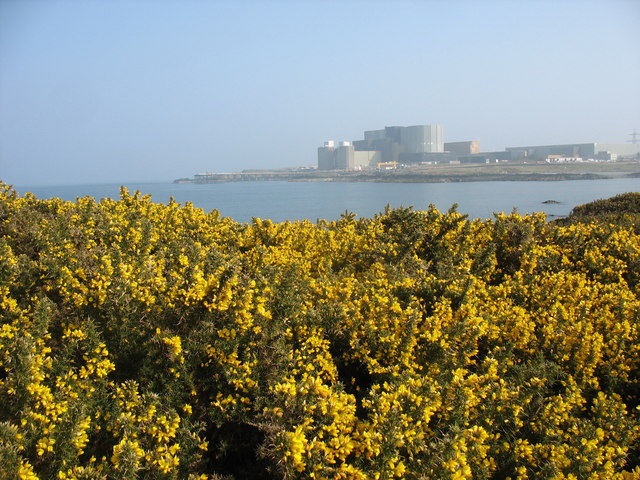 Flowering gorse above Porth y Pistyll bay