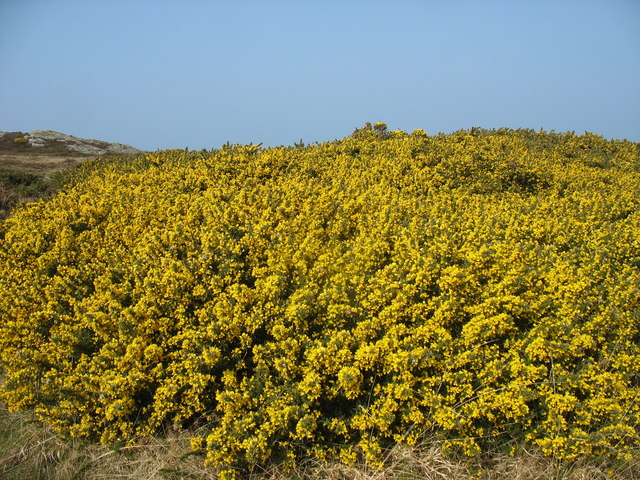 Gorse on National Trust land near Cerrig Brith