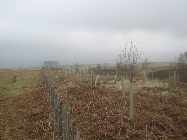 Plantation beside Twentyshilling Burn