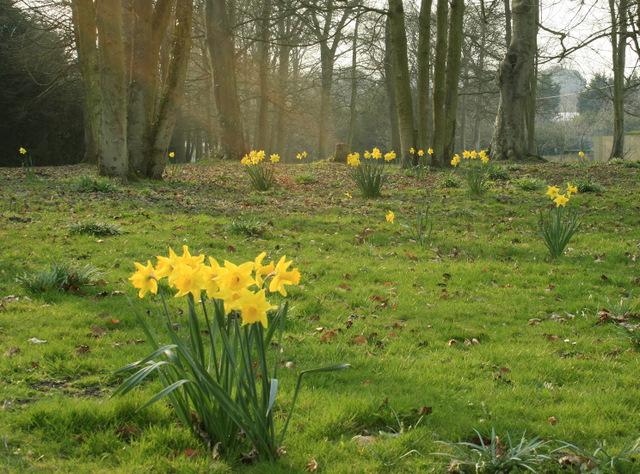 2009 : Daffodils near Erlestoke