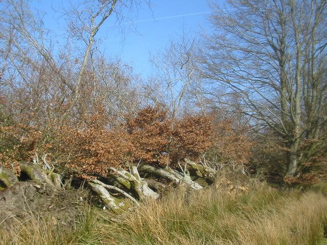 Fallen trees near Cronberry