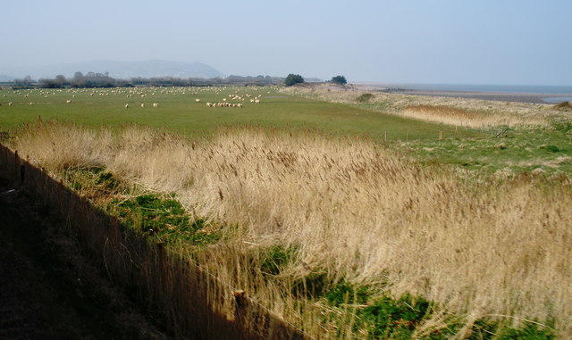 Grazing sheep, near the coast, at Blue Anchor