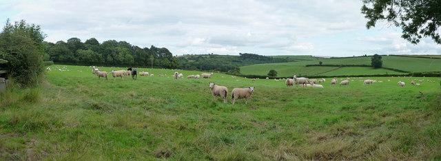 Mid Devon : Sheep in a Field