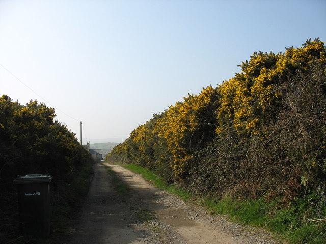 Gorse hedging bordering the drive to Rhwng-dau-fynydd Farm