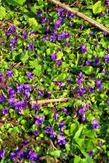 Dog violets (Viola riviniana)